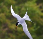Forster's Tern Agassiz National Wildlife Refuge NWR Marshall Co MNIMG_9943