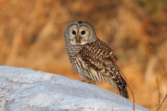 barred-owl-cr18-near-hebron-cemetery-aitkin-co-mn-img_1504