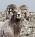 bighorn-gardiner-river-yellowstone-national-park-wy-img_5194