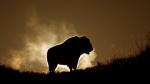 bison-teddy-roosevelt-national-park-medora-nd-img_6336