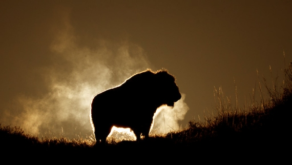 bison-teddy-roosevelt-national-park-medora-nd-img_6336