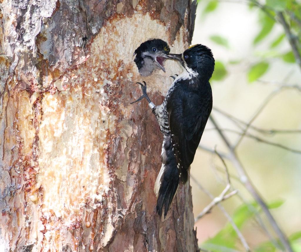 Black-backed-woodpecker-nest-norris-camp-beltrami-island