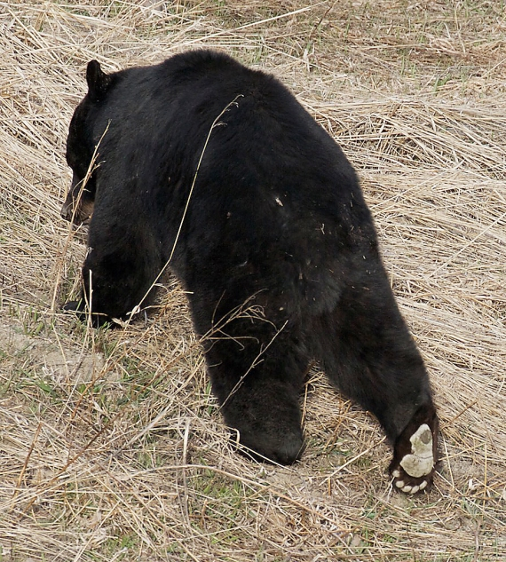 black-bear-yellowstone-national-park-wy-img_4898