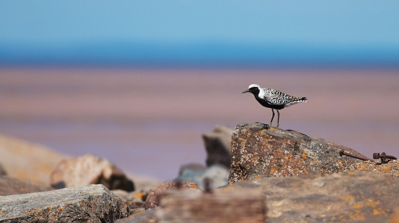 black-bellied-plover-break-wall-wisconsin-point-superior-wi-img_7314