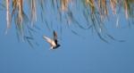 black-tern-thief-lake-wma-marshall-co-mn-img_1105
