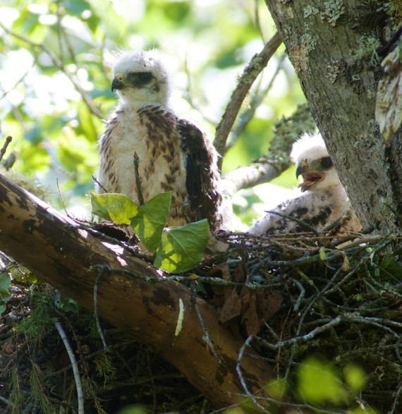 broad-winged-hawk-nest-with-2-nestlings-welcome-center-owl-avenue-sax-zim-bog-mn-img_5139
