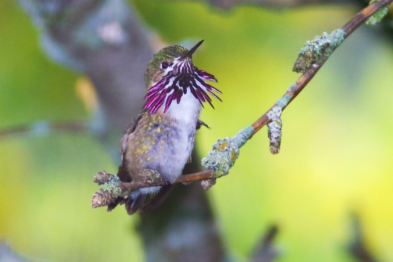calliope-hummingbird-male-park-point-duluth-mn-img_1964-1