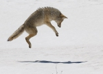 coyote-yellowstone-national-park-wy-img_4652