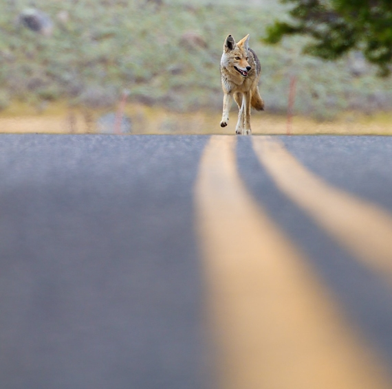 coyote-yellowstone-national-park-wy-img_5688