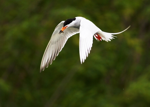 forsters-tern-agassiz-national-wildlife-refuge-nwr-marshall-co-mn-img_9758
