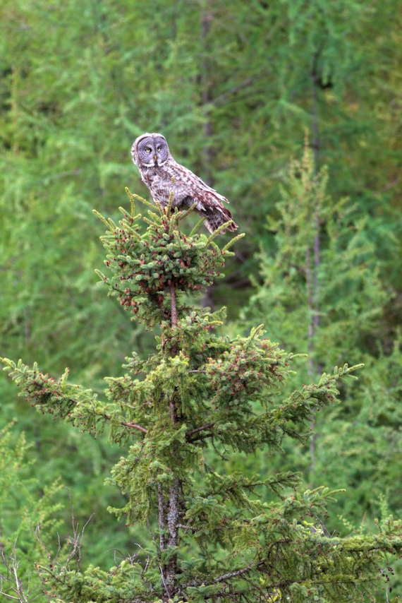 great-gray-owl-admiral-road-sax-zim-bog-mn-img_8922