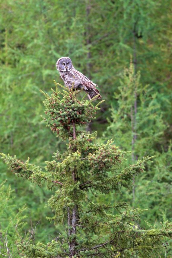 great-gray-owl-admiral-road-sax-zim-bog-mn-img_8922