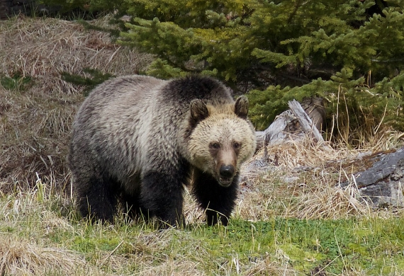 grizzly-yellowstone-national-park-wy-img_5794