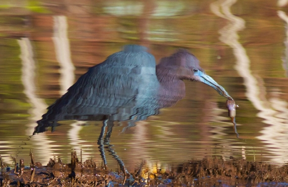little-blue-heron-st-louis-river-western-waterfront-trail-duluth-mn-img_7487