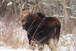 moose-cow-november-19-cr47-sax-zim-bog-mn-img_0093-1