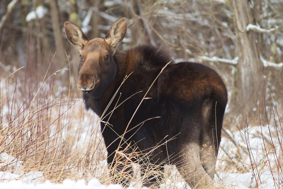 moose-cow-november-19-cr47-sax-zim-bog-mn-img_0093-1