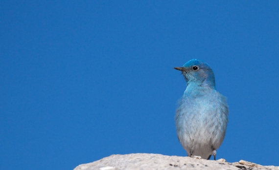 mountain-bluebird-yellowstone-national-park-wy-img_4505