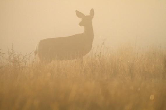 mule-deer-teddy-roosevelt-national-park-medora-nd-img_6225