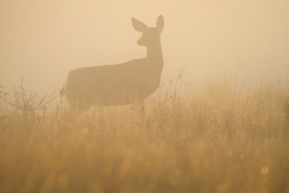 mule-deer-teddy-roosevelt-national-park-medora-nd-img_6225