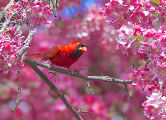 northern-cardinal-male-in-flowering-crabapple-mom-and-dads-house-new-hope-mn-img_6658