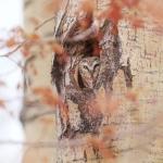 northern-saw-whet-owl-near-burntside-lake-ely-mn-img_7214
