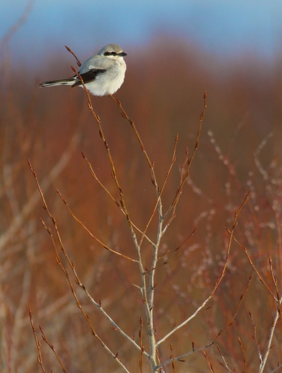 northern-shrike-cranberry-road-lek-sax-zim-bog-mn-img_3277