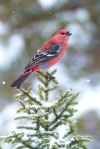 pine-grosbeak-male-welcome-center-owl-avenue-sax-zim-bog-mn-img_9632