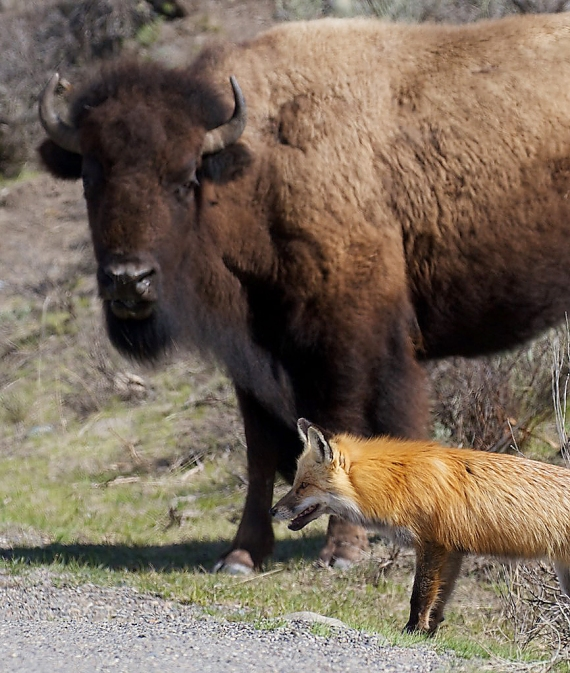 red-fox-and-bison-yellowstone-national-park-wy-img_5509
