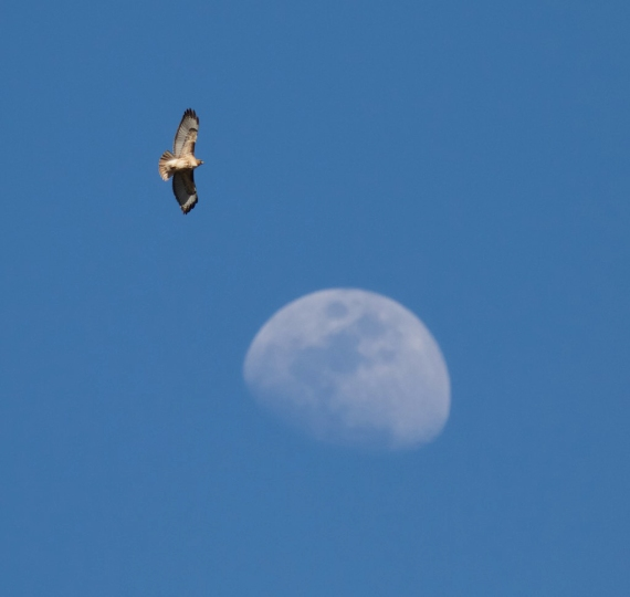 red-tailed-hawk-and-moon-yellowstone-national-park-wy-img_3979