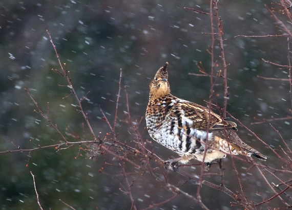 ruffed-grouse-snow-carlton-co-mn-img_1106