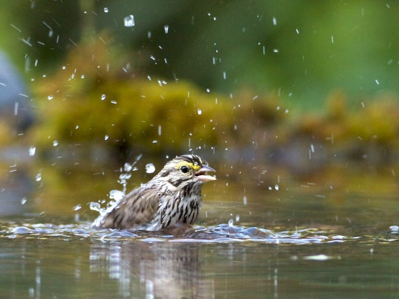 savannah-sparrow-at-my-pool-skogstjarna-carlton-co-mn-img_2465