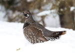 spruce-grouse-male-spruce-road-superior-national-forest-lake-co-mn-img_0659
