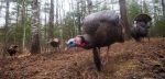 wild-turkey-skogstjarna-wrenshall-mn-img_2903