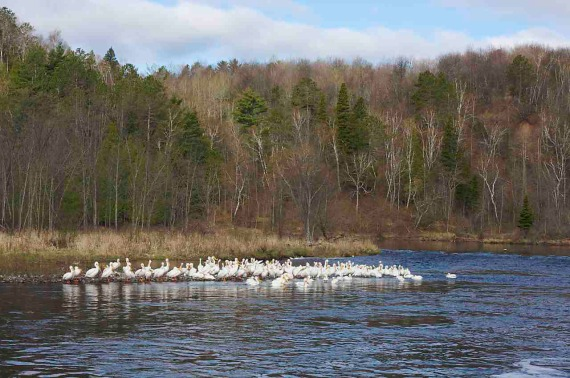 Am White Pelicans IMG_0006647