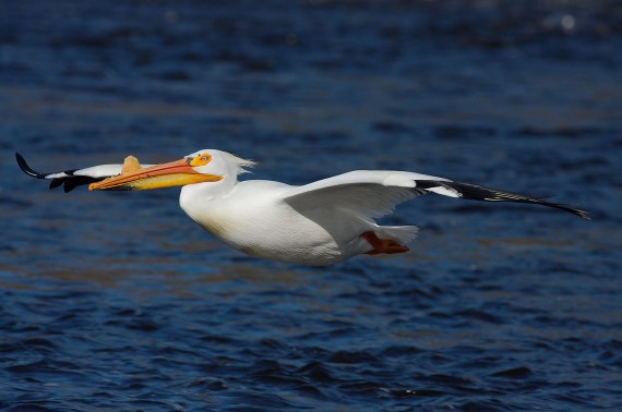 American White Pelican flight St. Louis River Fond du Lac MN IMG_0006699
