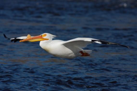 American White Pelican flight St. Louis River Fond du Lac MN IMG_0006699