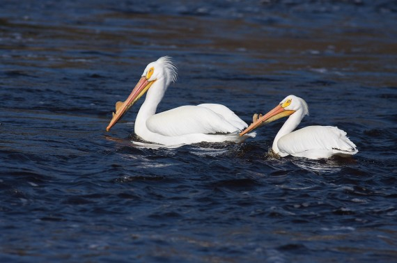 American White Pelican pair St. Louis River Fond du Lac Duluth MN IMG_0006630