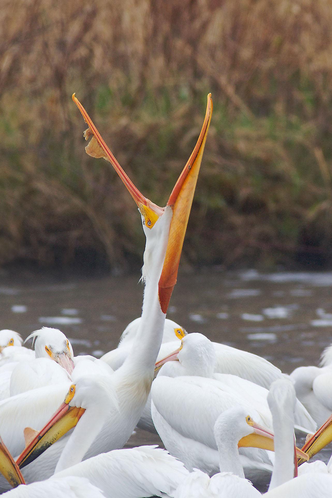 American White Pelican St Louis R Fond du Lac Duluth MN IMG_8295