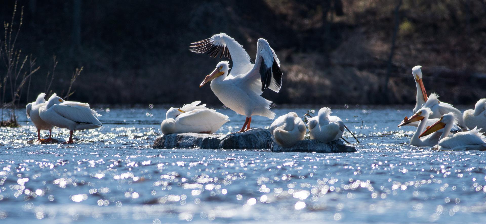 American White Pelican St. Louis River Fond du Lac Duluth MN-06899