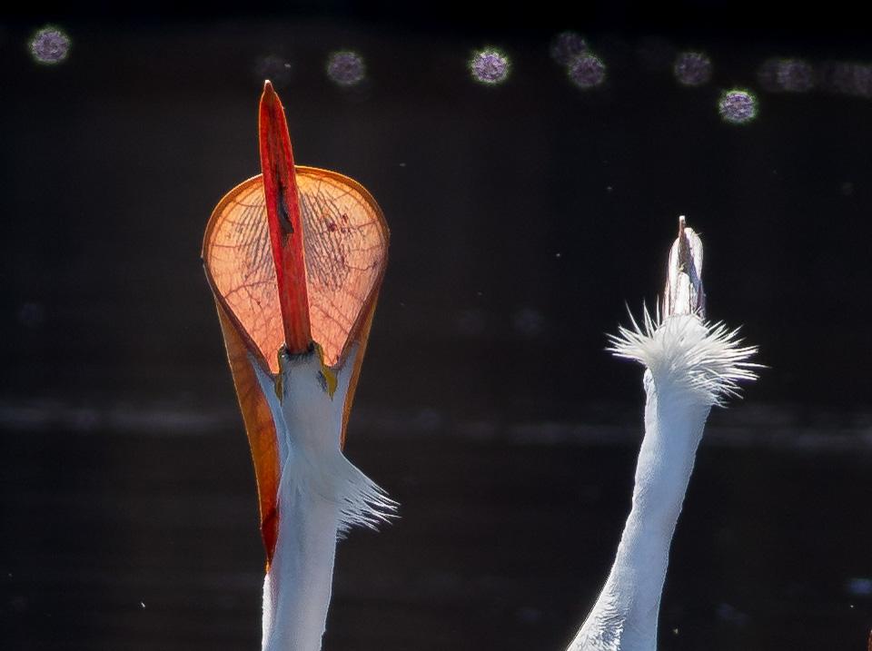 American White Pelican St. Louis River Fond du Lac Duluth MN-06929