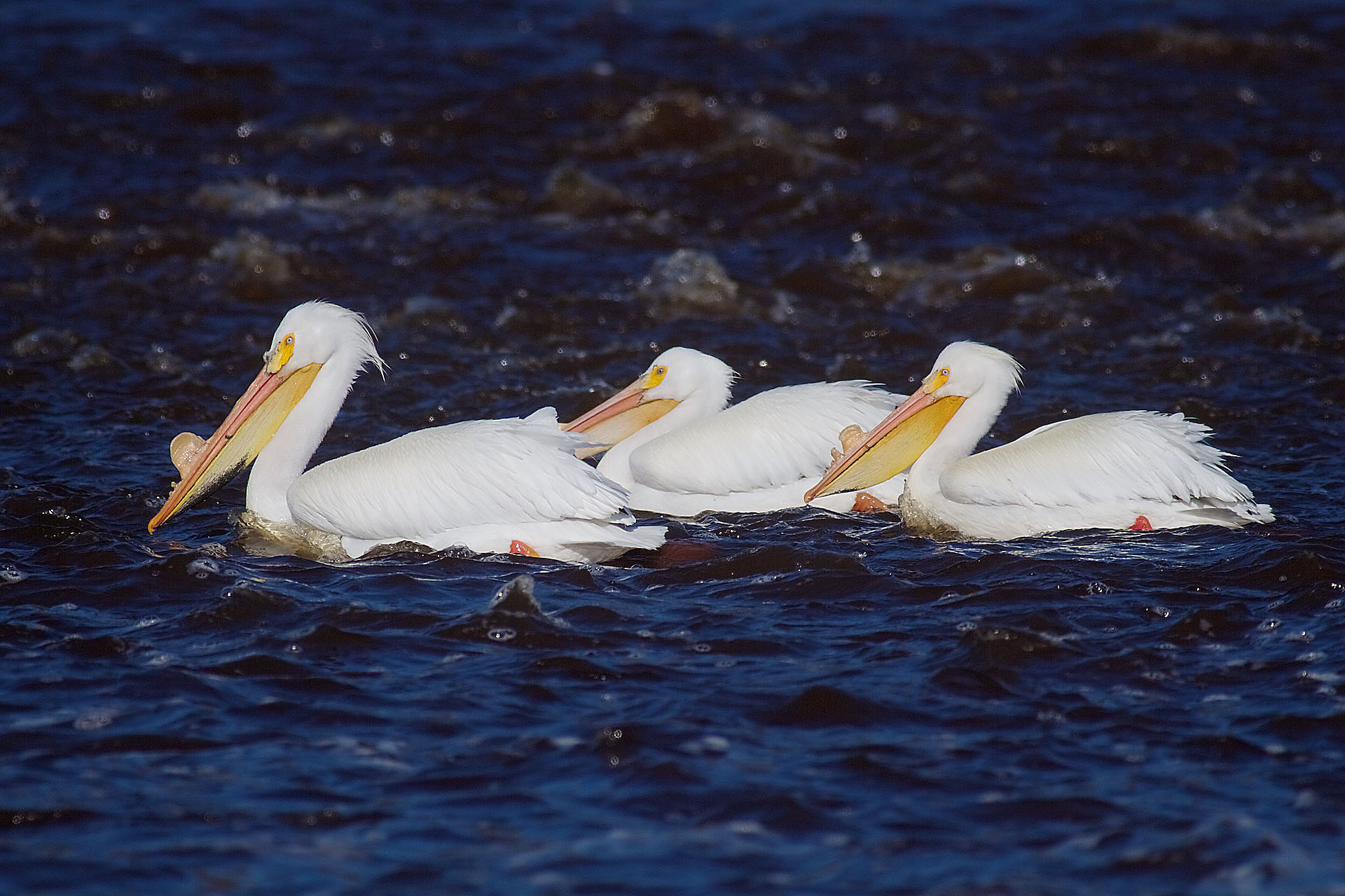American White Pelican St. Louis River Fond du Lac Duluth MN IMG_0017