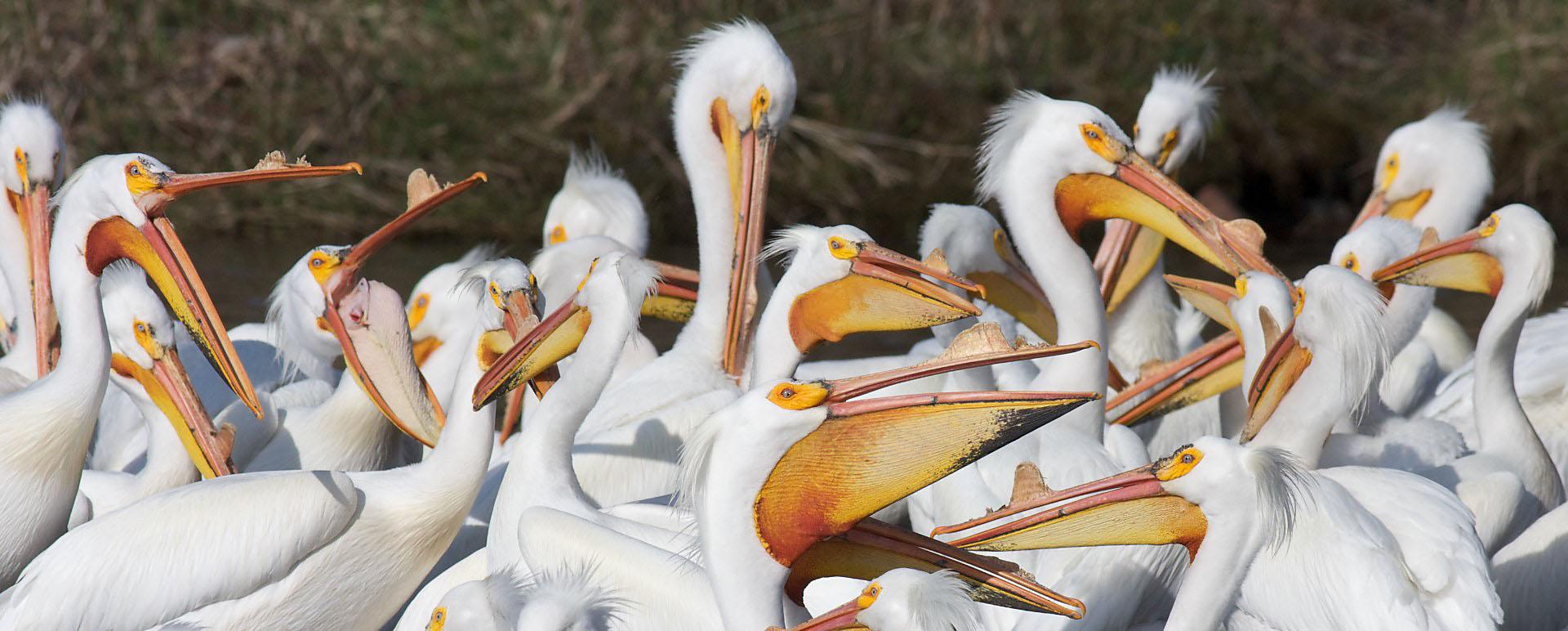American White Pelicans St. Louis River Fond du Lac MN IMG_0006664