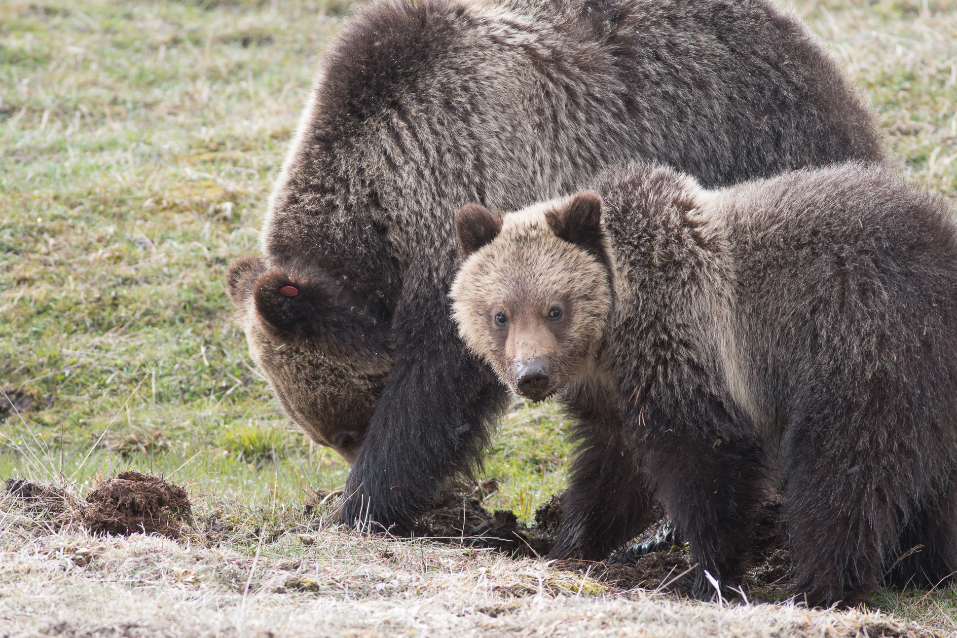 Grizzly Bear and cub Valley Girl near Roaring Mountain Yellowstone National Park WY-05818