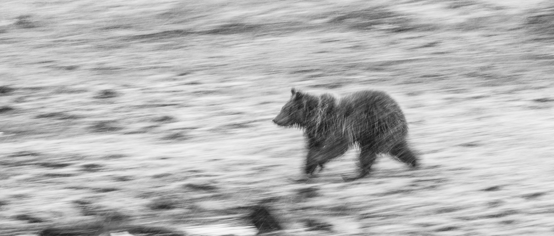 Grizzly Bear and cub Valley Girl near Roaring Mountain Yellowstone National Park WY-0593