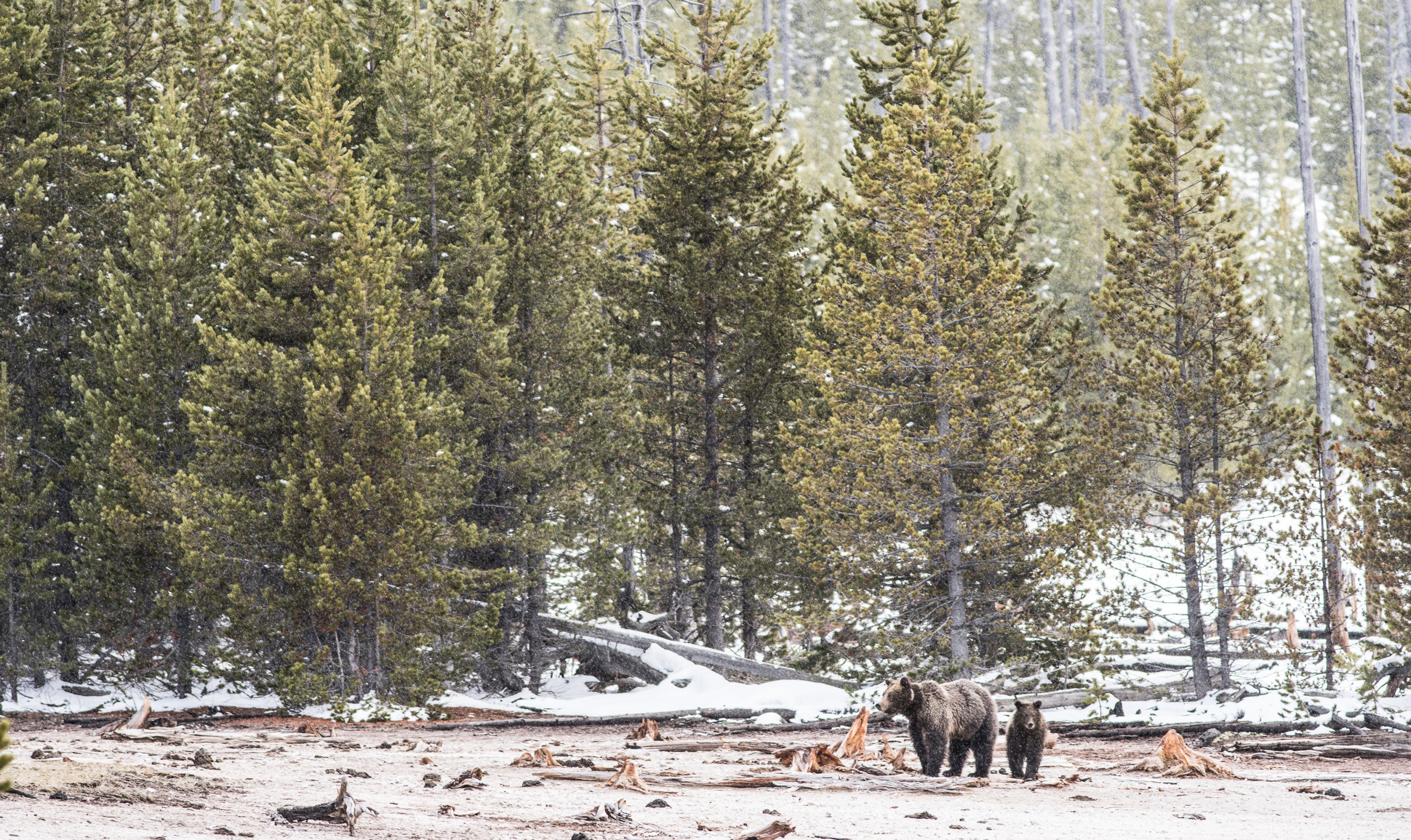 Grizzly Bear and cub Valley Girl near Roaring Mountain Yellowstone National Park WY-05965