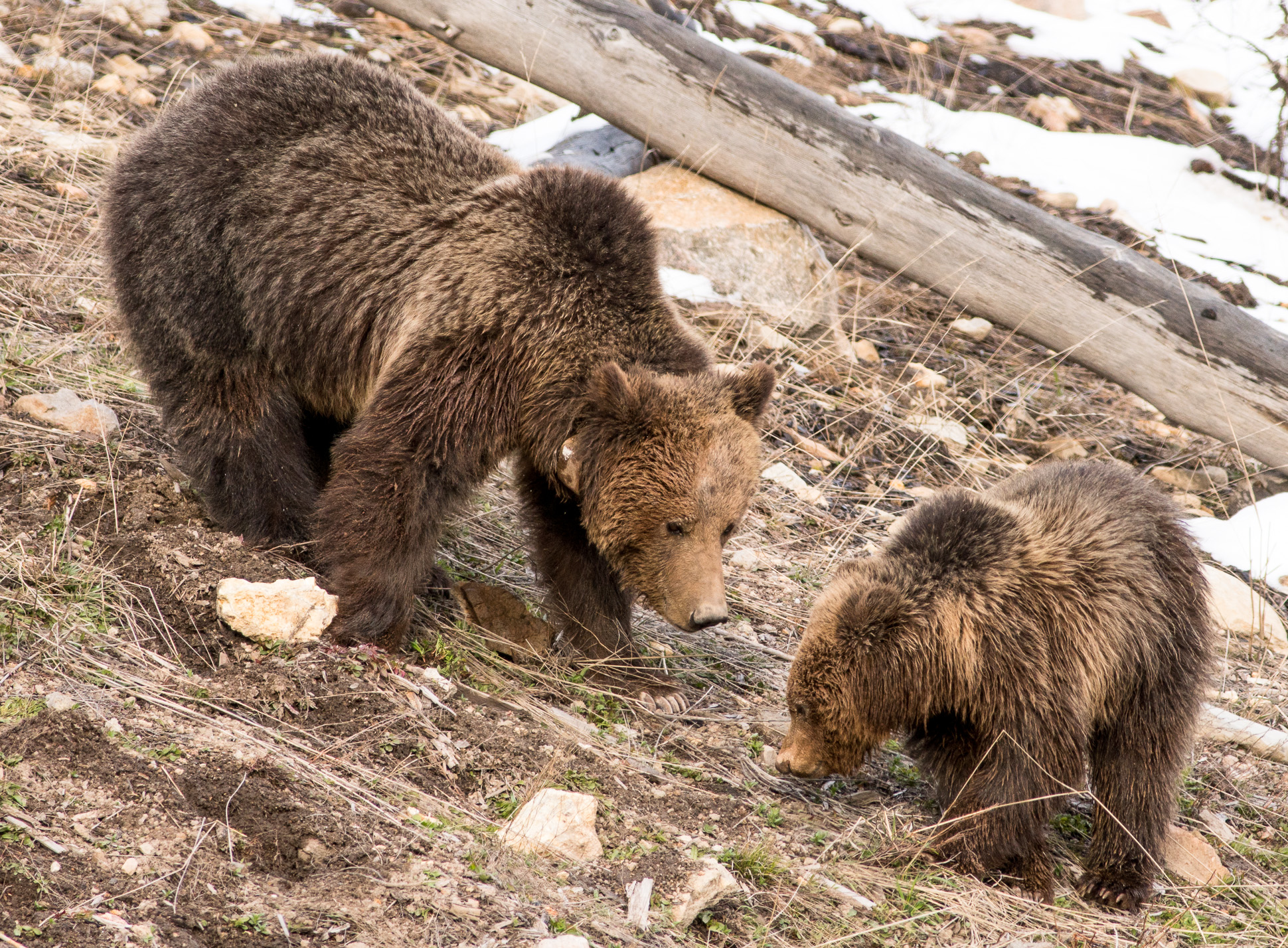 Grizzly Bear and cub Valley Girl near Roaring Mountain Yellowstone National Park WY-06024
