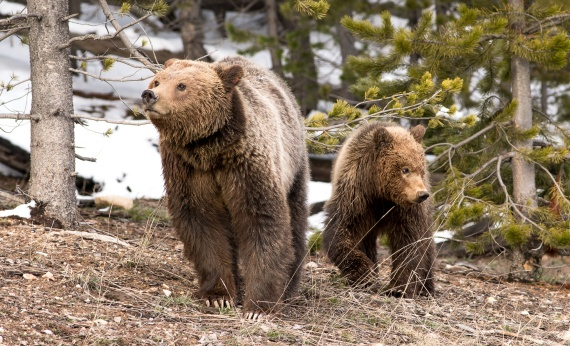 Grizzly Bear and cub Valley Girl near Roaring Mountain Yellowstone National Park WY-06061