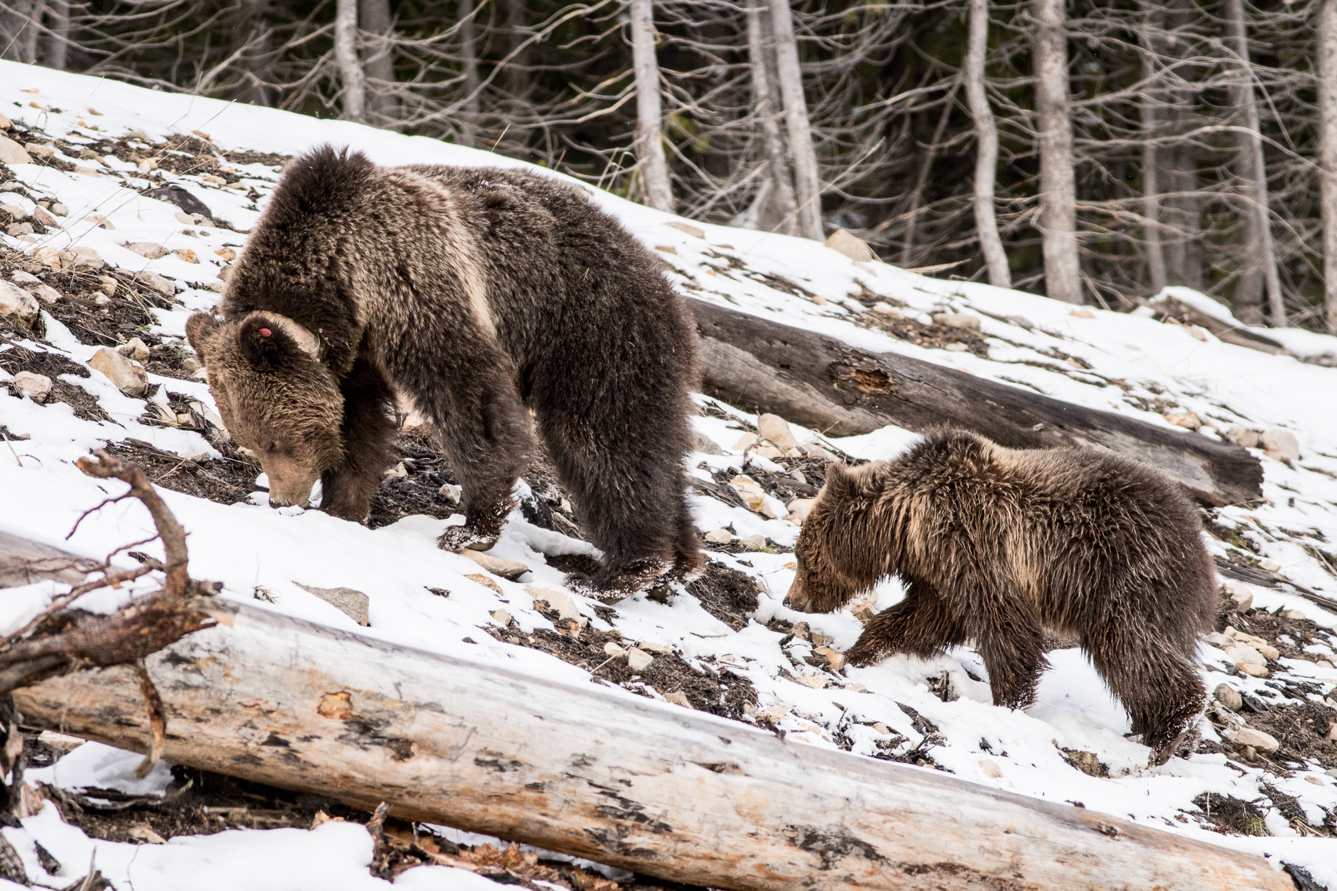 Grizzly Bear and cub Valley Girl near Roaring Mountain Yellowstone National Park WY-06156