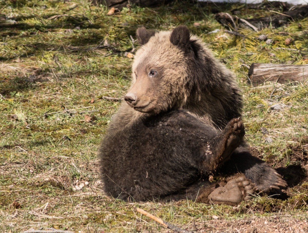 Yellowstone 2017 #1—Grizzly sow & cub