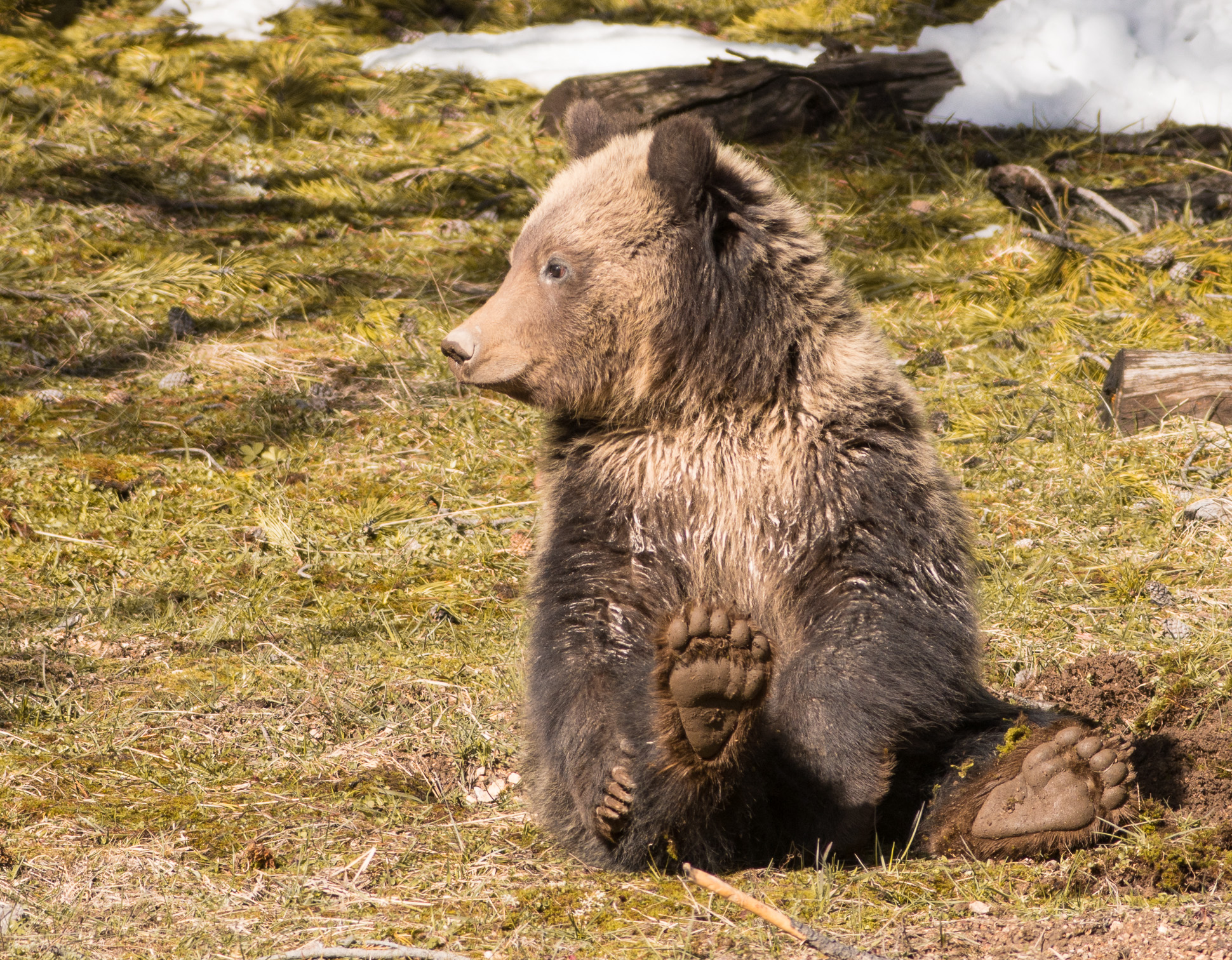 Grizzly Bear and cub Valley Girl near Roaring Mountain Yellowstone National Park WY-06487